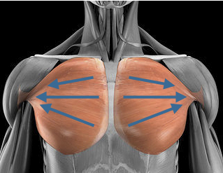 Pec fibers line of axis