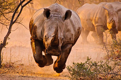 Testosterone Rhino